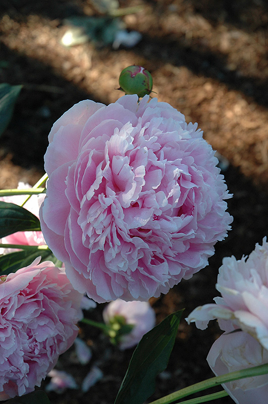 Shirley Temple Peony (Paeonia 'Shirley Temple') at Dickman Farms