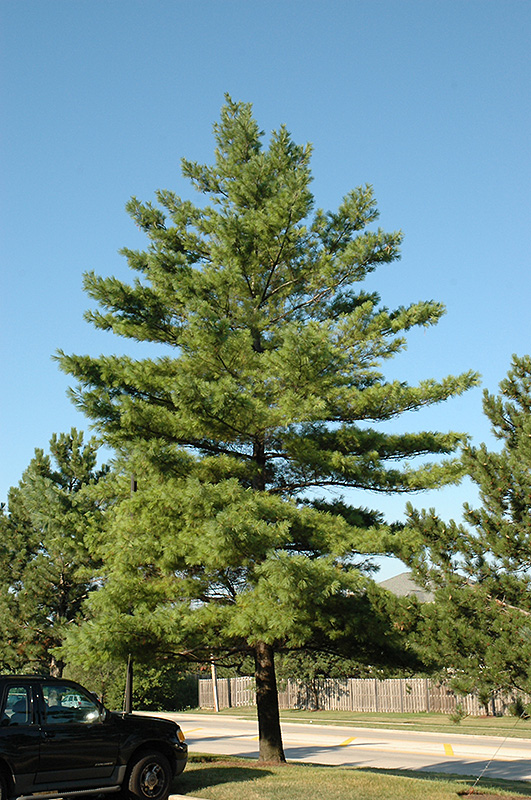 White Pine (Pinus strobus) at Dickman Farms