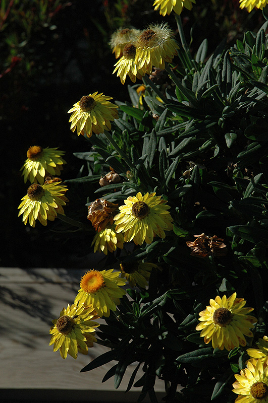 Mohave Yellow Strawflower (Bracteantha bracteata 'Mohave Yellow') at Dickman Farms