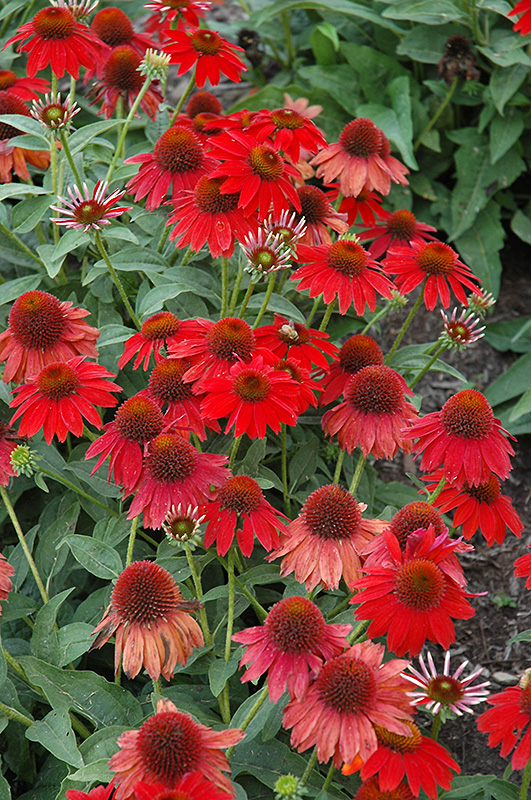 Sombrero Salsa Red Coneflower (Echinacea 'Balsomsed') at Dickman Farms
