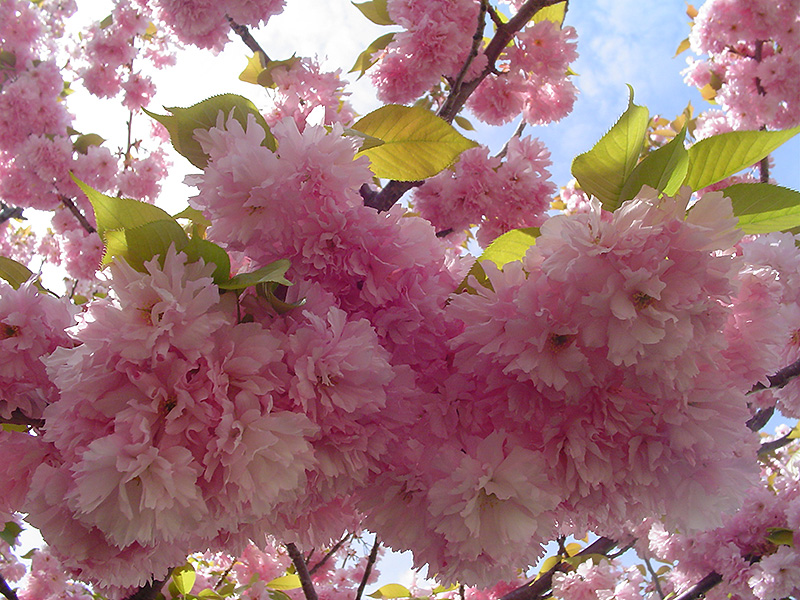 Kwanzan Flowering Cherry (Prunus serrulata 'Kwanzan') at Dickman Farms
