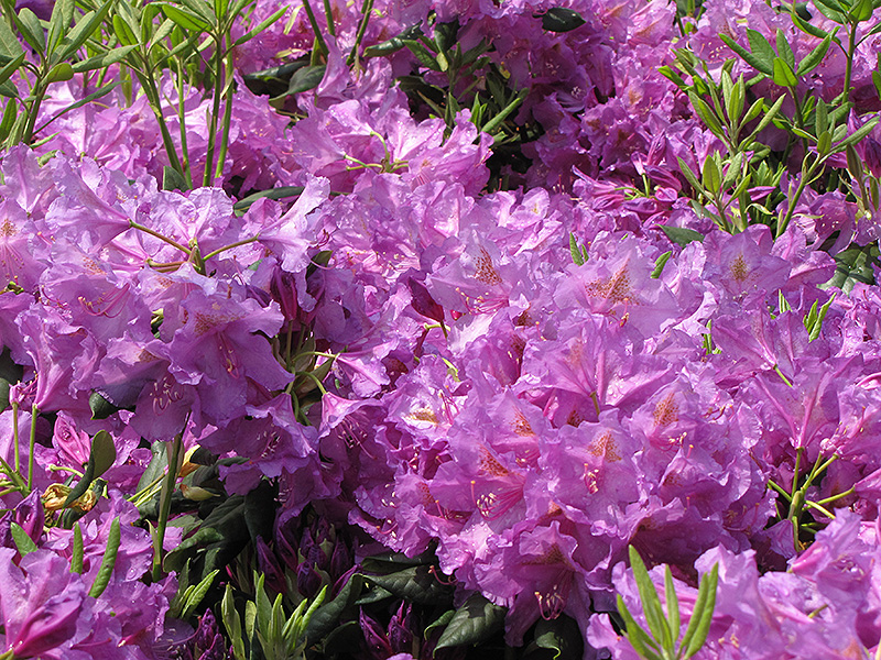 Lee's Dark Purple Rhododendron (Rhododendron catawbiense 'Lee's Dark Purple') at Dickman Farms