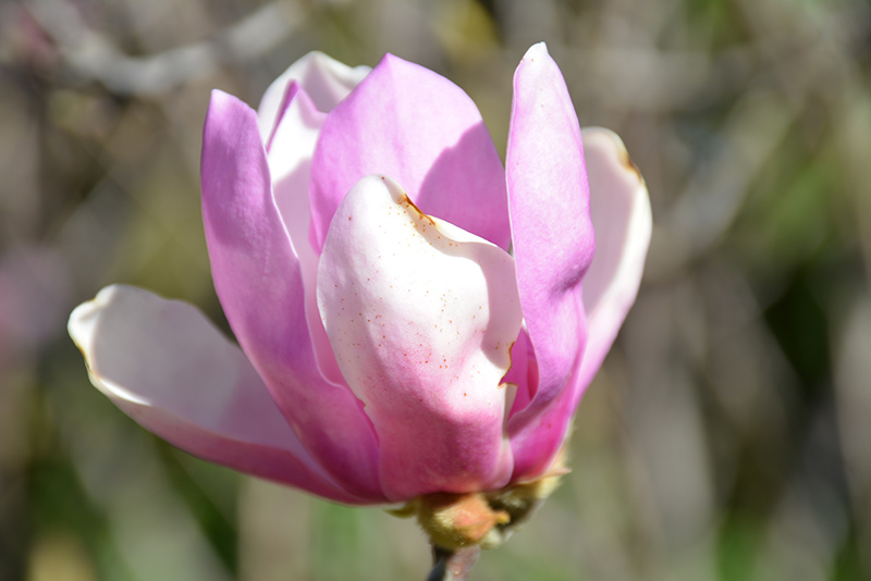 Jane Magnolia (Magnolia 'Jane') at Dickman Farms