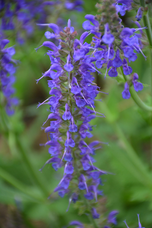 May Night Sage (Salvia x sylvestris 'May Night') at Dickman Farms