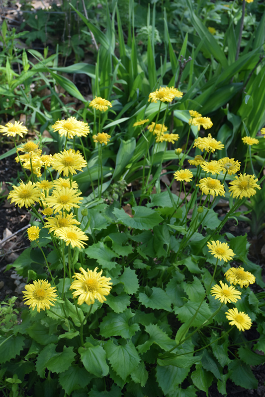 Little Leo Leopard's Bane (Doronicum 'Little Leo') at Dickman Farms