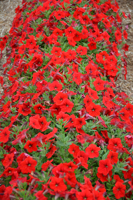 Easy Wave Red Petunia (Petunia 'Easy Wave Red') at Dickman Farms