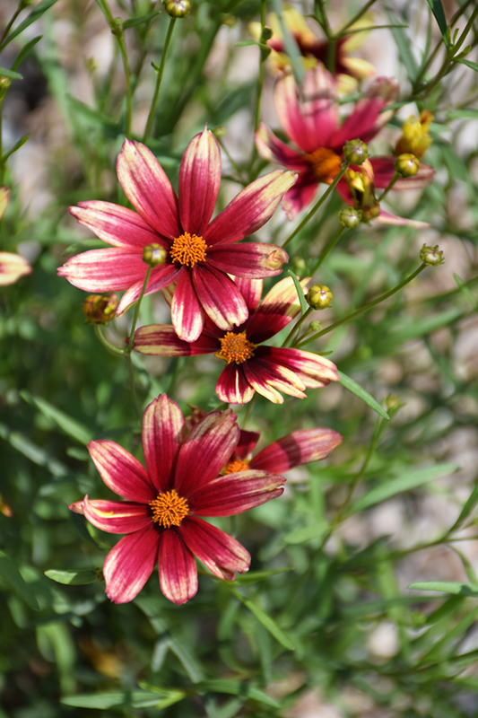 Lil' Bang Red Elf Tickseed (Coreopsis 'Red Elf') at Dickman Farms