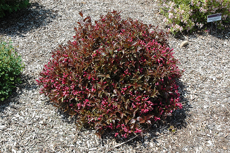 Shining Sensation Weigela (Weigela florida 'Bokrashine') at Dickman Farms