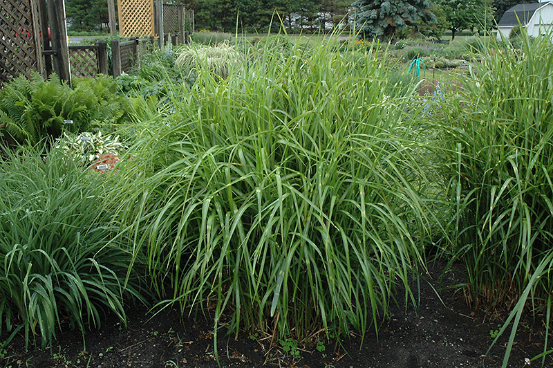 Porcupine Grass (Miscanthus sinensis 'Strictus') at Dickman Farms