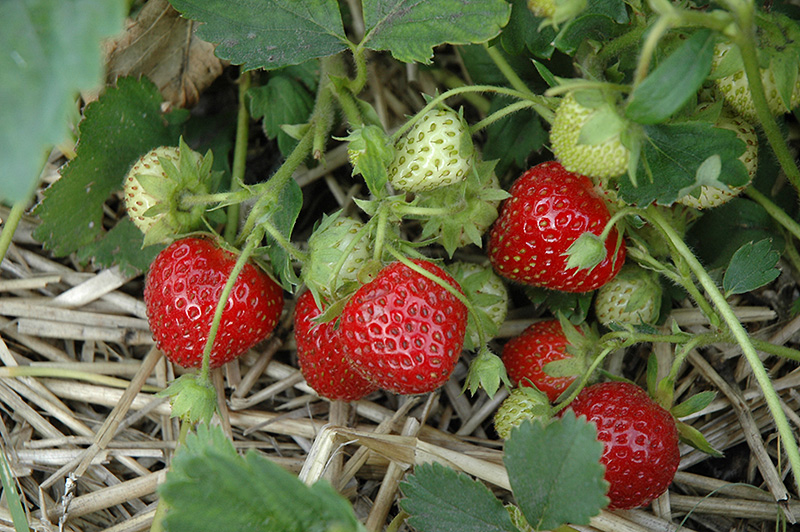 Cardinal Strawberry (Fragaria 'Cardinal') at Dickman Farms