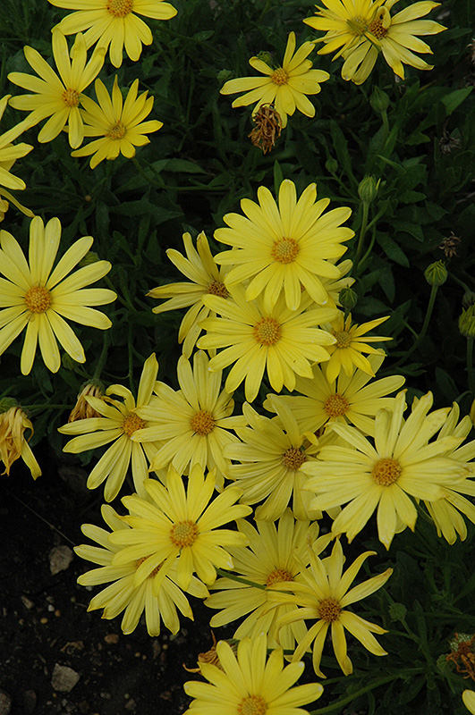 Voltage Yellow African Daisy (Osteospermum 'Voltage Yellow') at Dickman Farms