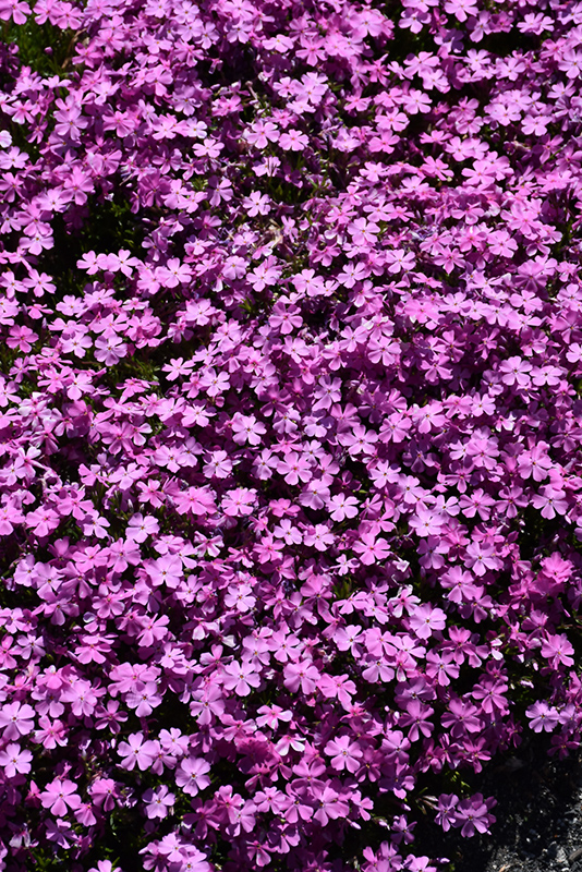 Emerald Pink Moss Phlox (Phlox subulata 'Emerald Pink') at Dickman Farms