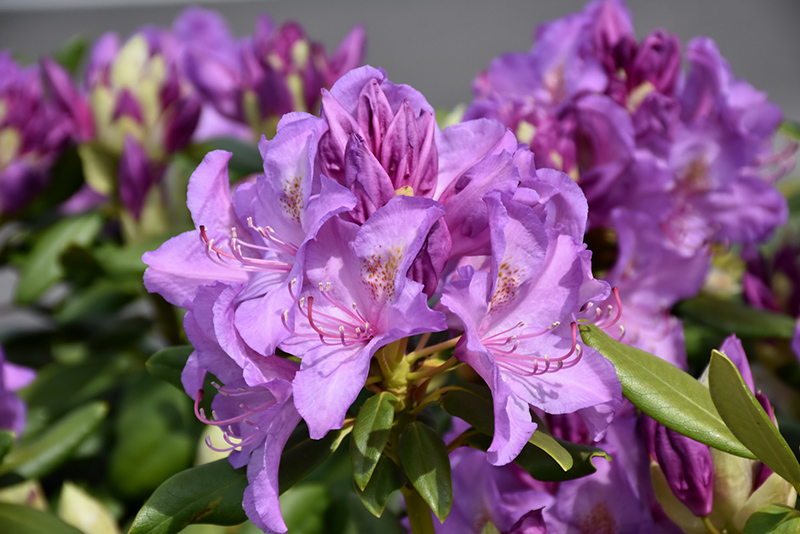 Boursault Rhododendron (Rhododendron catawbiense 'Boursault') at Dickman Farms