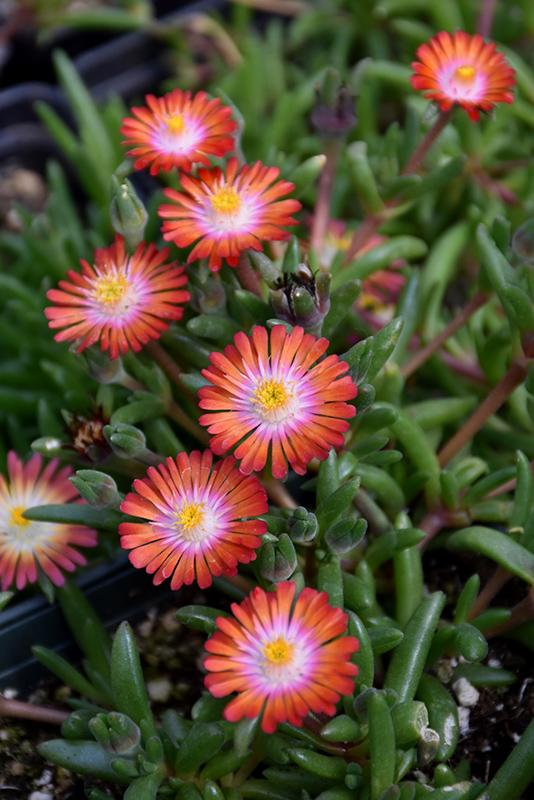 Jewel Of Desert Grenade Ice Plant (Delosperma 'Jewel Of Desert Grenade') at Dickman Farms