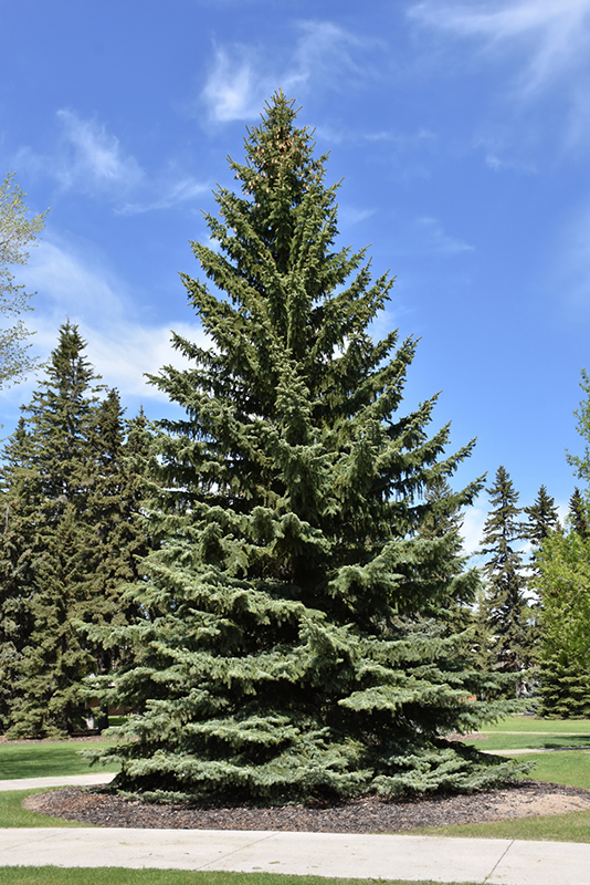 Blue Colorado Spruce (Picea pungens 'var. glauca') at Dickman Farms