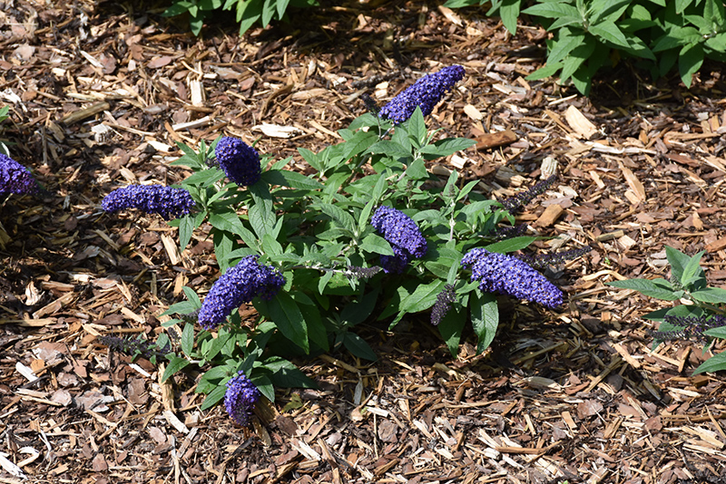 Pugster Blue Butterfly Bush (Buddleia 'SMNBDBT') at Dickman Farms