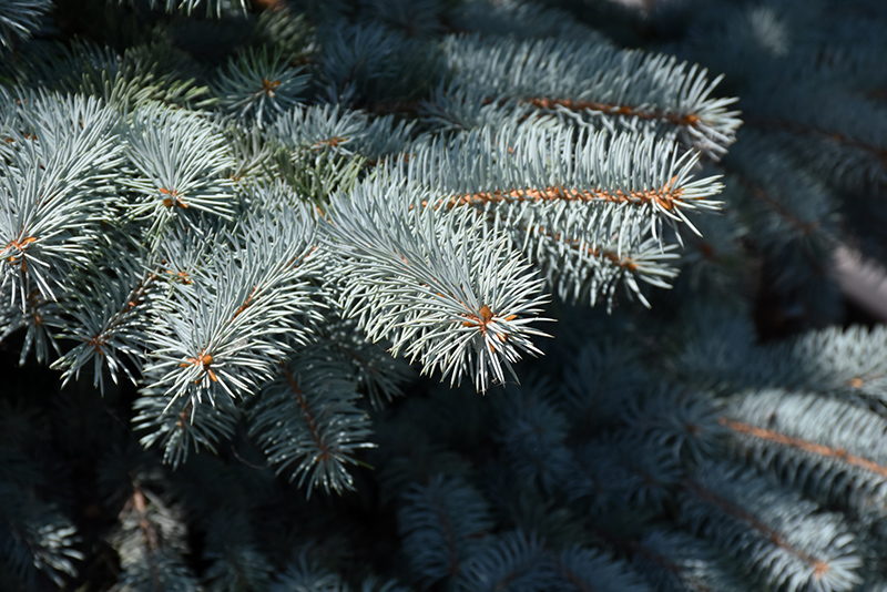 Baby Blue Blue Spruce (Picea pungens 'Baby Blue') at Dickman Farms
