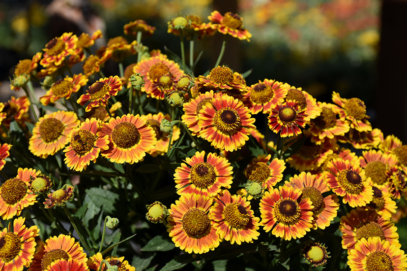 Mariachi Fuego Sneezeweed (Helenium autumnale 'Fuego') at Dickman Farms