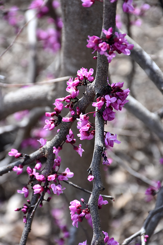Ruby Falls Redbud (Cercis canadensis 'Ruby Falls') at Dickman Farms