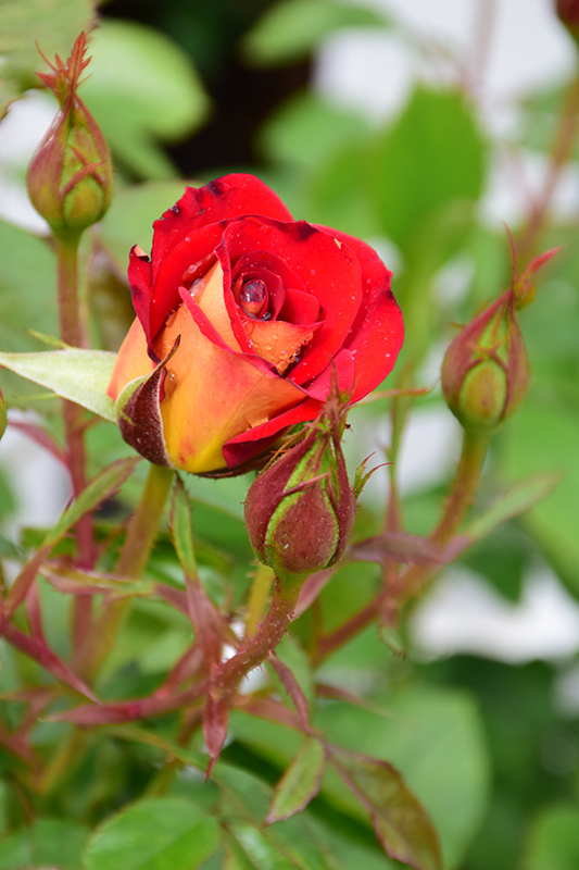 Ketchup And Mustard Rose (Rosa 'WEKzazette') at Dickman Farms
