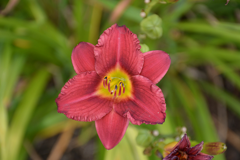 Pardon Me Daylily (Hemerocallis 'Pardon Me') at Dickman Farms