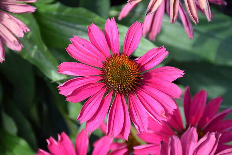 Kismet Raspberry Coneflower (Echinacea 'TNECHKR') at Dickman Farms