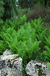 Ostrich Fern (Matteuccia struthiopteris) at Dickman Farms
