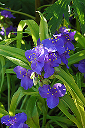 Sweet Kate Spiderwort (Tradescantia x andersoniana 'Sweet Kate') at Dickman Farms