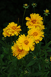 Early Sunrise Tickseed (Coreopsis 'Early Sunrise') at Dickman Farms