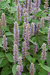 Blue Fortune Anise Hyssop (Agastache 'Blue Fortune') at Dickman Farms