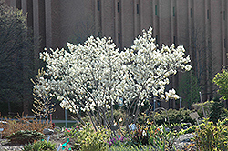Autumn Brilliance Serviceberry (Amelanchier x grandiflora 'Autumn Brilliance') at Dickman Farms