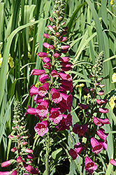 Camelot Rose Foxglove (Digitalis purpurea 'Camelot Rose') at Dickman Farms
