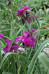 Red Grape Spiderwort (Tradescantia x andersoniana 'Red Grape') at Dickman Farms