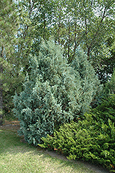 Wichita Blue Juniper (Juniperus scopulorum 'Wichita Blue') at Dickman Farms