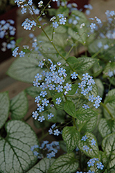 Jack Frost Bugloss (Brunnera macrophylla 'Jack Frost') at Dickman Farms