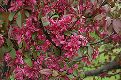 Profusion Flowering Crab (Malus 'Profusion') at Dickman Farms