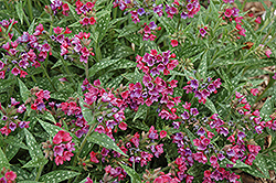 Raspberry Splash Lungwort (Pulmonaria 'Raspberry Splash') at Dickman Farms