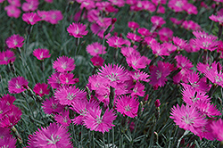 Firewitch Pinks (Dianthus gratianopolitanus 'Firewitch') at Dickman Farms