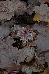 Blackout Coral Bells (Heuchera 'Blackout') at Dickman Farms