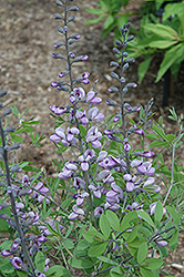 Purple Smoke False Indigo (Baptisia 'Purple Smoke') at Dickman Farms