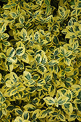 Emerald 'n' Gold Wintercreeper (Euonymus fortunei 'Emerald 'n' Gold') at Dickman Farms