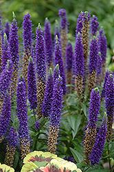 Royal Candles Speedwell (Veronica spicata 'Royal Candles') at Dickman Farms
