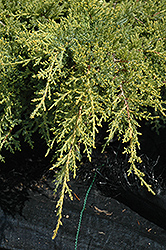 Gold Star Juniper (Juniperus chinensis 'Bakaurea') at Dickman Farms