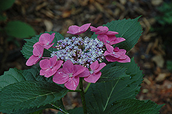 Sunset Hydrangea (Hydrangea macrophylla 'Sunset') at Dickman Farms