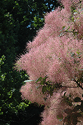 Grace Smokebush (Cotinus 'Grace') at Dickman Farms