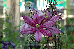 Liberation Clematis (Clematis 'Liberation') at Dickman Farms