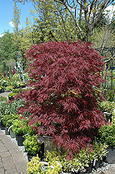 Red Dragon Japanese Maple (Acer palmatum 'Red Dragon') at Dickman Farms