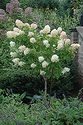 Limelight Hydrangea (tree form) (Hydrangea paniculata 'Limelight (tree form)') at Dickman Farms