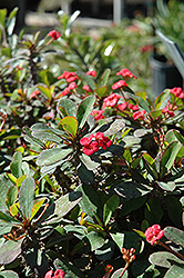 Crown Of Thorns (Euphorbia milii) at Dickman Farms