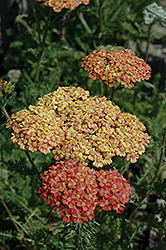 Desert Eve™ Terracotta Yarrow (Achillea millefolium 'Desert Eve Terracotta') at Dickman Farms